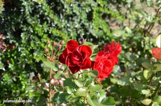 As rosas....